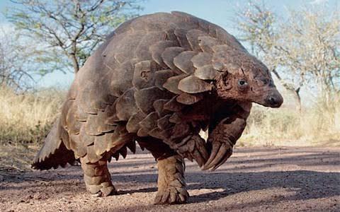 Dünyanın En Şanssız Hayvanı: Pangolin