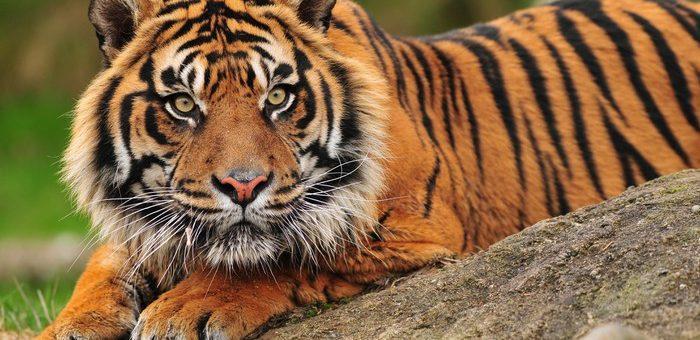 Sumatra Kaplanı Öldürüldü