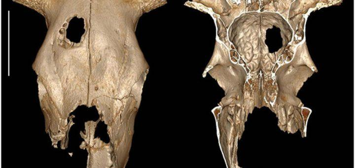Yaklaşık 5000 Yıl Önce İnsanlar Bu İnek Üzerinde Beyin Cerrahisi Yaptı