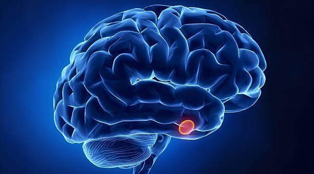 Hipofiz Bezi (Hormonu): Yeri, İşlevi ve Özellikleri