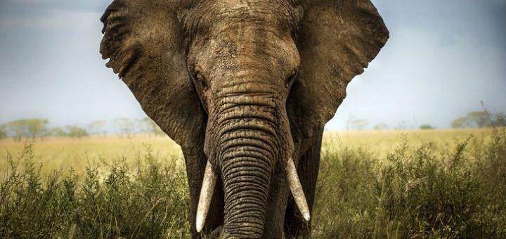 Asya ve Afrika Filleri Arasındaki Farklar