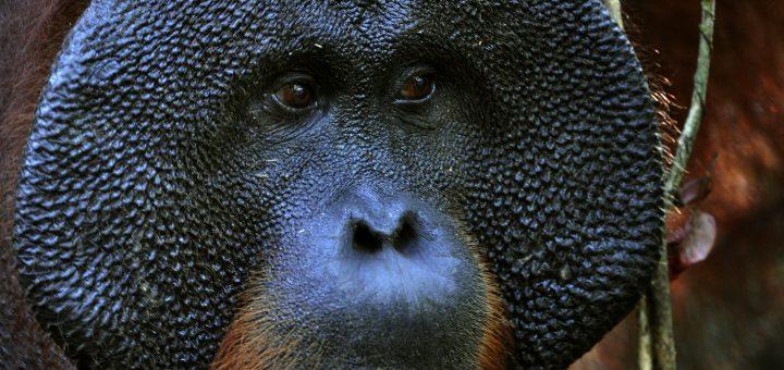 Orangutanlar Hakkında Bilgiler