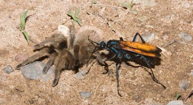 Dünyanın En Acılı Böcek Sokmaları
