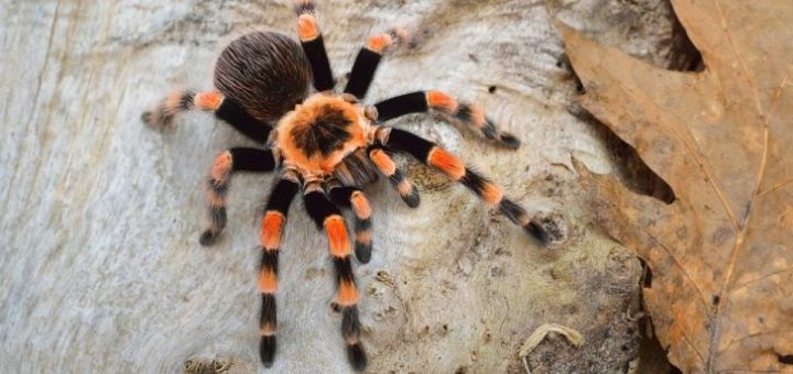 Araknitler (Arachnida) Nedir?