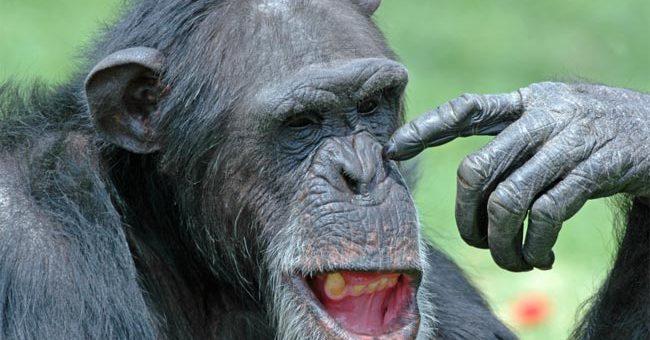 Maymunlar Neden İnsanlar Kadar Yaşayamaz?