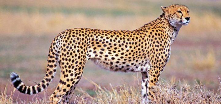 Çitalar: Dünya'nın En Hızlı Kara Hayvanları